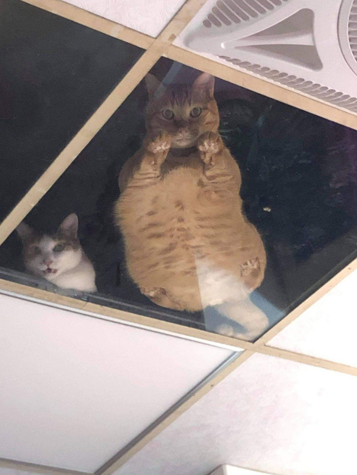 clear ceiling tiles cats