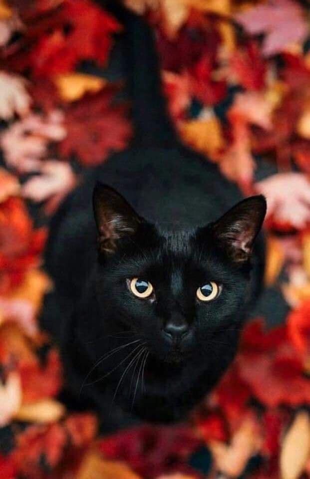 black cat autumn leaves