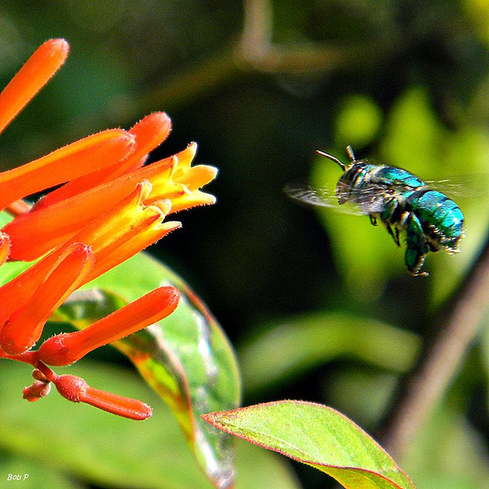 green orchid bees