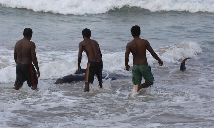 beached whales Sri Lanka