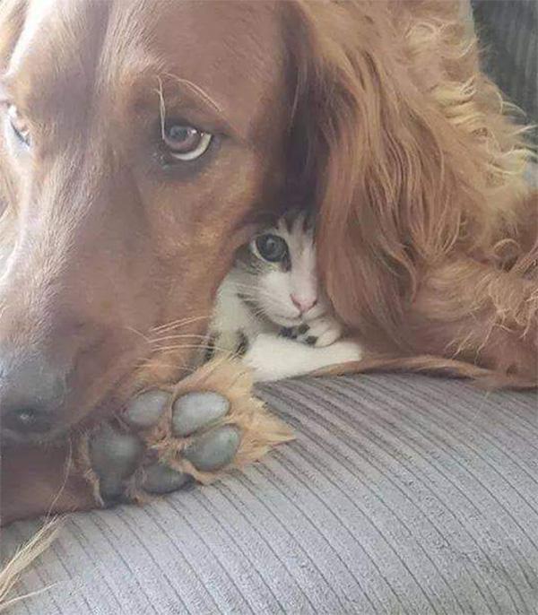 kitten hiding in dog ear