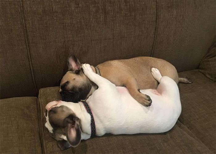 french bulldogs cuddling