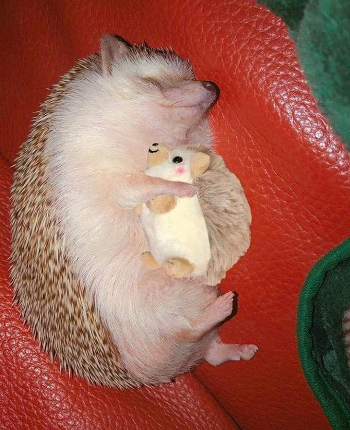 sleeping hedgehog