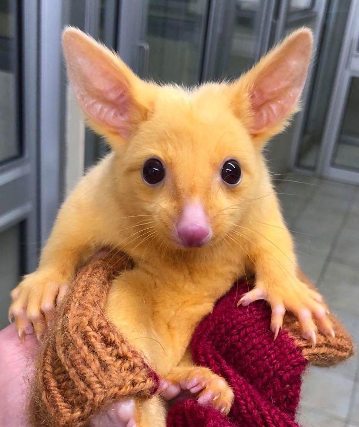 golden possum pikachu