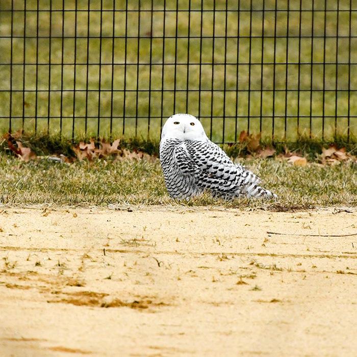 snowy owl central park