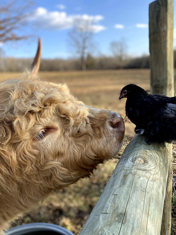 bird and cow friends