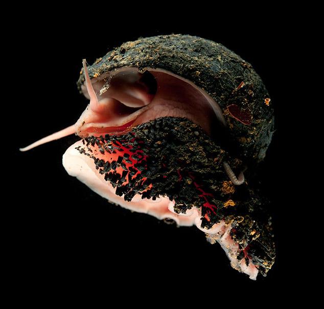 volcano snail
