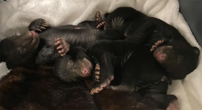 bear cubs rescue
