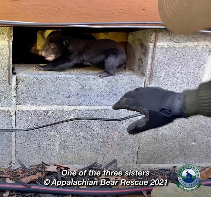 ayı yavrularını kurtarmak