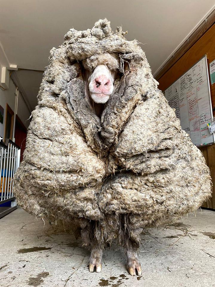 baarack sheep