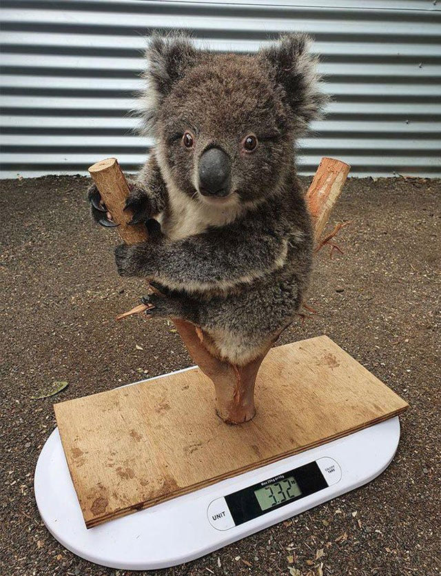 how they weigh koalas