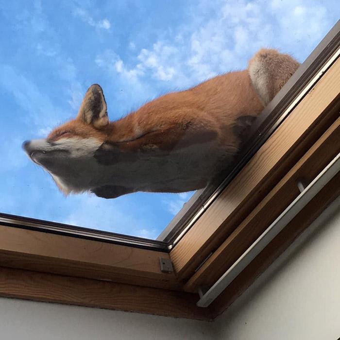 fox sleeping on sky light