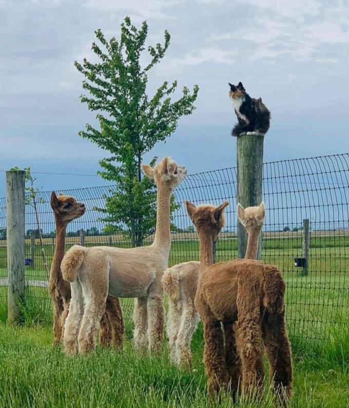 cat llamas