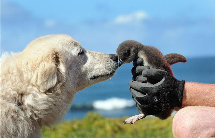 dogs protect penguins island