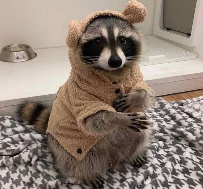 raccoon in his little coat