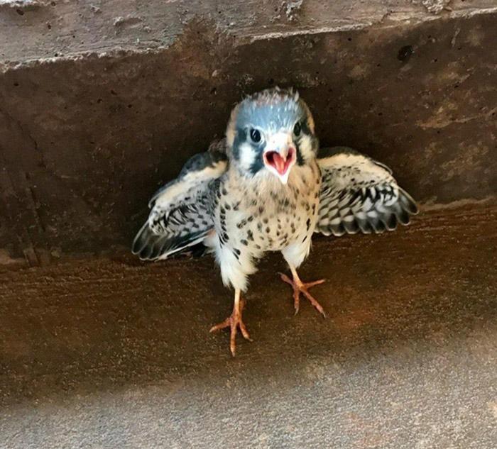tiny hawk