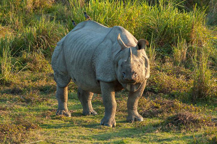 rhino numbers on the rise India