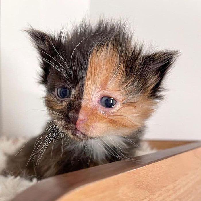 apricot calico kitty