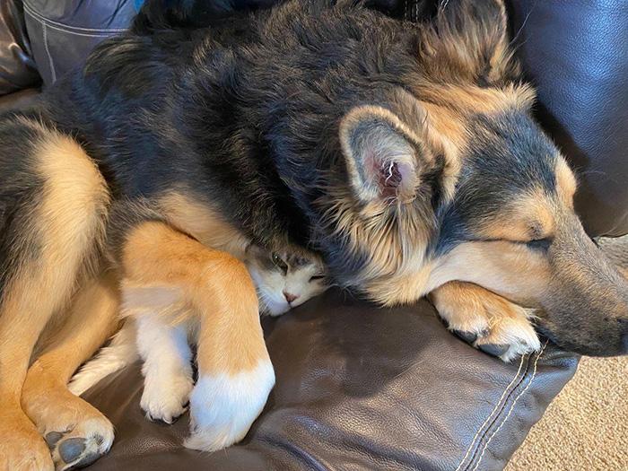 cat and dog cuddling