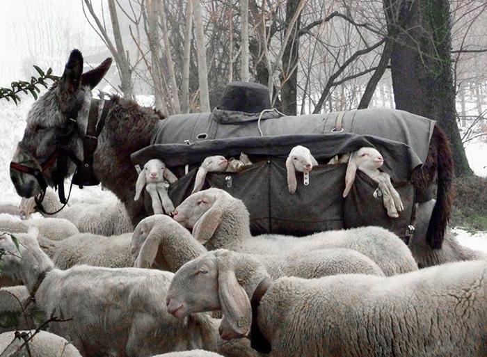 donkey carries lamb down mountain
