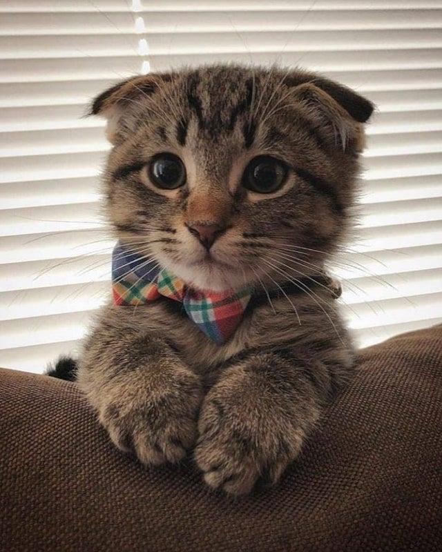 kitten in bowtie