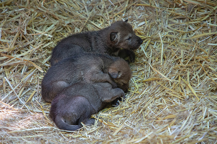 red wolf pups born at zoo