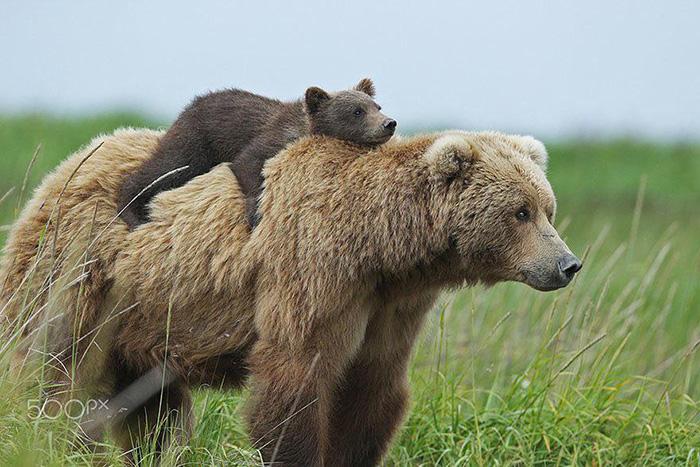 momma bear and cub