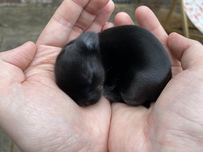 baby black bunny