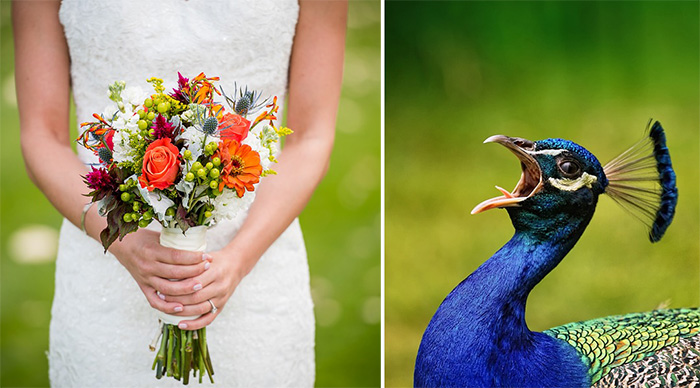 peacock for wedding