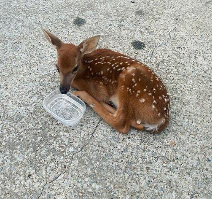 deer helps injured deer