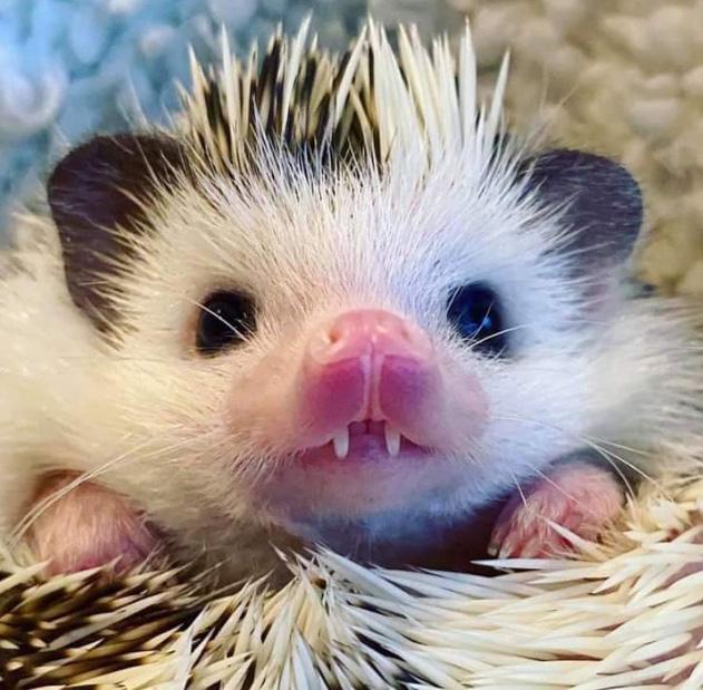 dracula hedgehog
