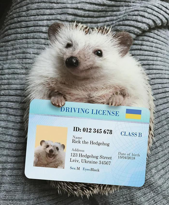 ricky hedgehog drivers license