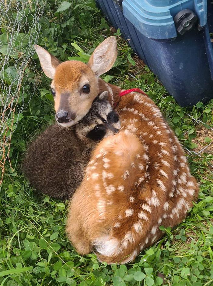 raccoon and baby deer