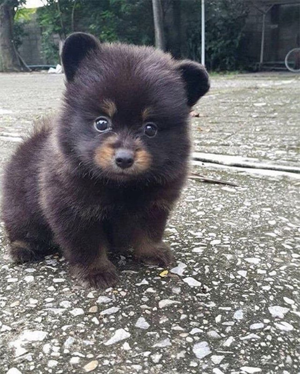 dog looks like bear cub