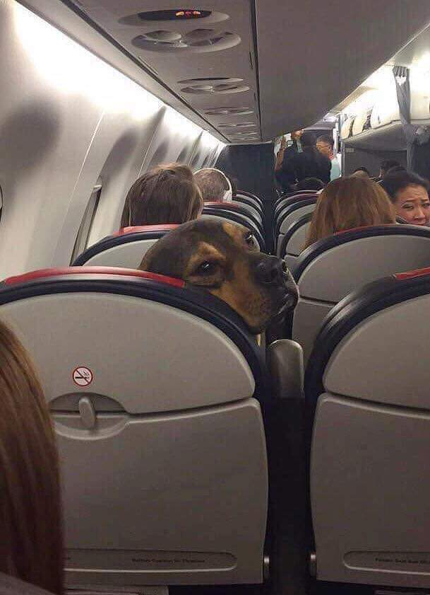 dog on airplane seat