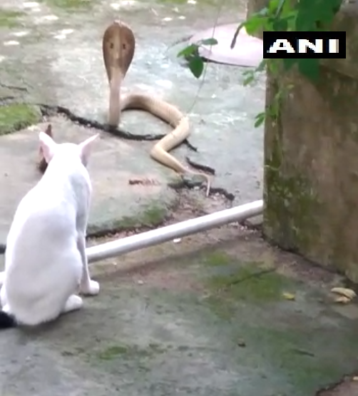 cat protects family from cobra