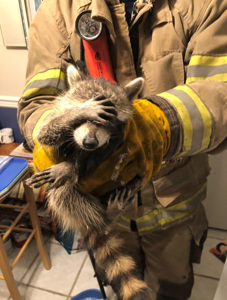 raccoon embarrassed