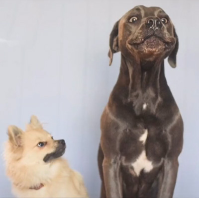 dog stepped on small dog funny reaction