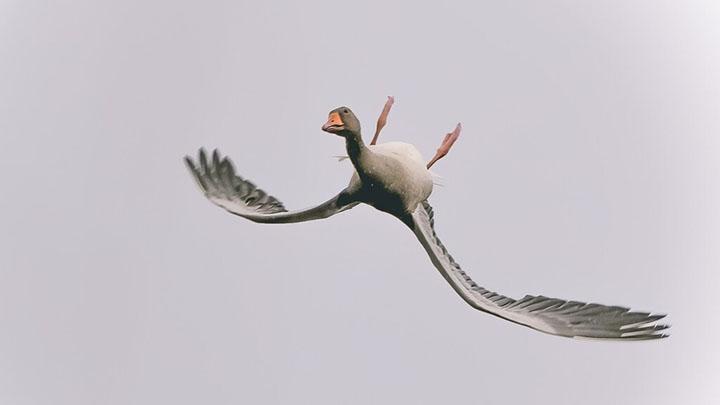 goose flying upside down