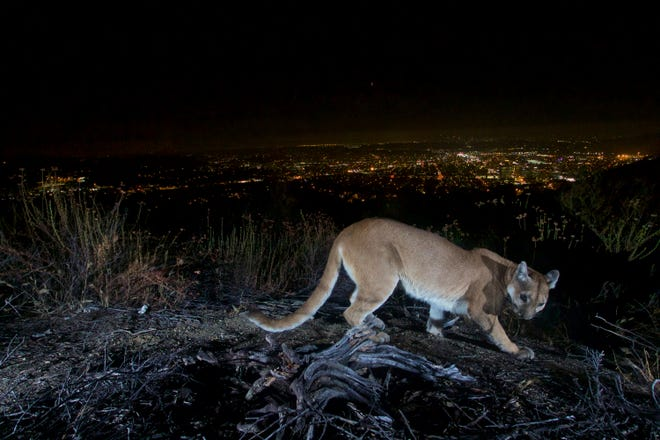 mom fights mountain lion