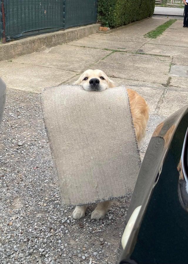 dog brings rug