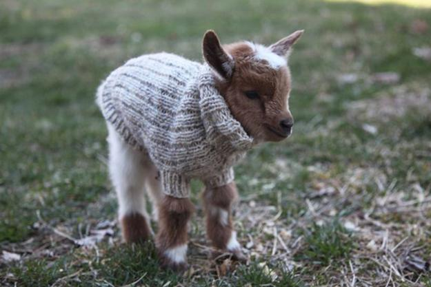 baby goat in sweater
