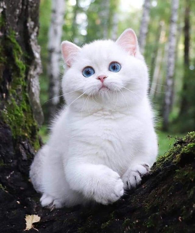 white cat chunky